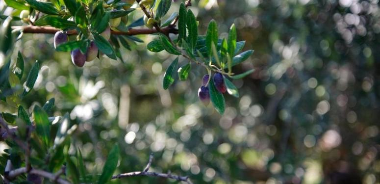 Как мы производим лучшее оливковое масло в мире?